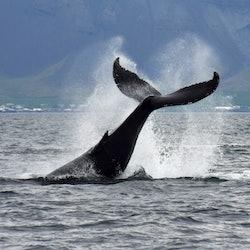 Tickets, museos, atracciones,Avistamiento de ballenas