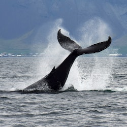 Whale Watching: Classic Tour from Reykjavik