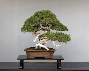 Bonsai Boom Verzorgen : Tickets voor het crespi bonsai museum tiqets