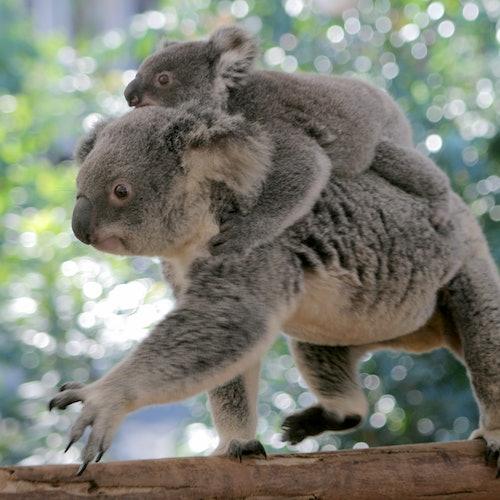 Brisbane River Cruise to Lone Pine Koala Sanctuary