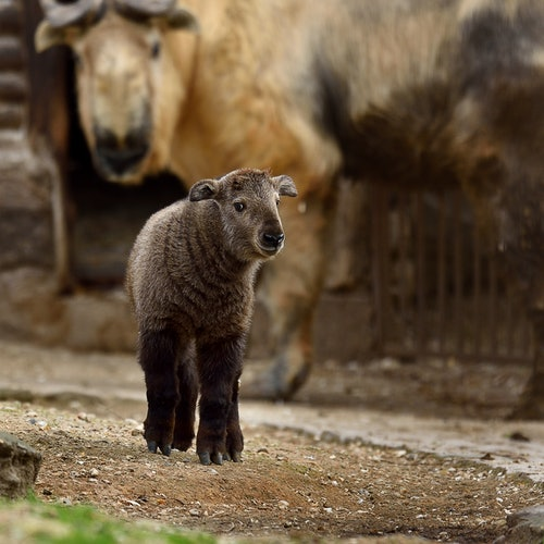 Ménagerie, Zoo del Jardin des Plantes: Sin colas