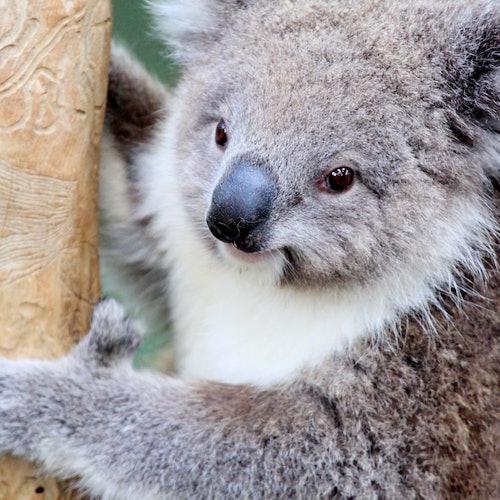 Phillip Island Penguin Parade y Maru Park Animal Sanctuary