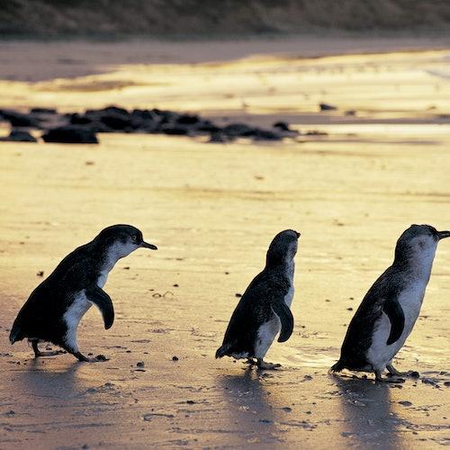 Phillip Island Nature Parks: Pase de 4 parques
