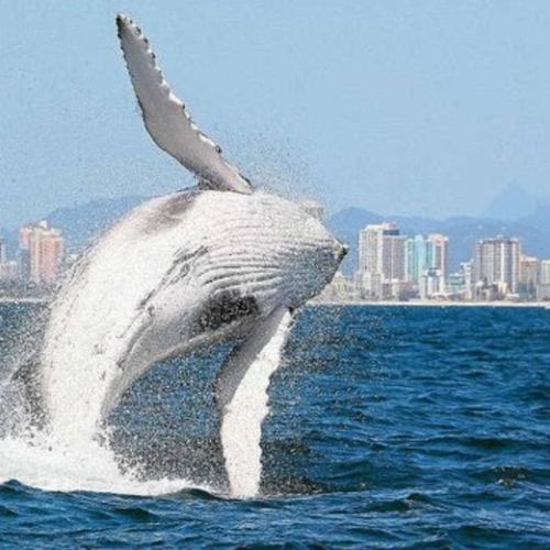 Whale Watching Cruise Gold Coast